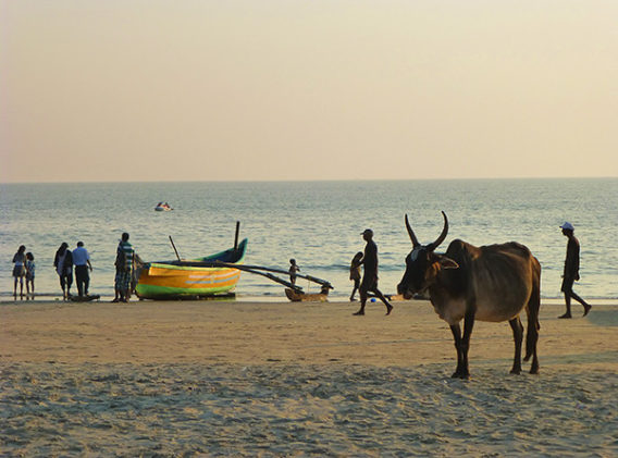 Cow on Beach (Goa)-M